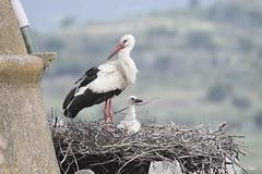 DSC_6024 (P2 New) Tags: 2018 animaux ciconiidae ciconiiformes cigogneblanche date espagne extremadura mai oiseaux pays
