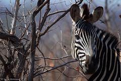Burchell's Zebra (leendert3) Tags: leonmolenaar southafrica krugernationalpark wildlife nature mammals burchellszebra ngc coth5 npc