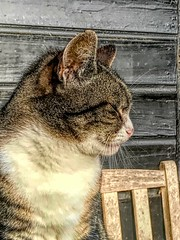 Cat at the stable (gill4kleuren - 17 ml views) Tags: pussy puss poes chat mieze katje gato gata gatto cat pet animal kitty kat pussycat poezen
