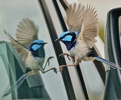 Friend or foe. Splendid Blue Wren is a little confussed as to who is in our car (oliverred) Tags: splendidbluewren coth alittlebeauty coth5 naturethroughthelens