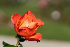 Rosengarten Part V (Tommes80) Tags: sonyalpha7iii vollformat sony rosen rosengarten blumen landschaft makro