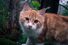 Curious (stefanobosia) Tags: cat gatto animal portrait animale ritratto pet fujifilm xt20 eyes red nature rosso natura canonfd28mmf28 vintagelens