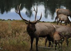 Big Bull Elk With Cows (fethers1) Tags: elk bullelk evergreen evergreenlake coloradowildlife