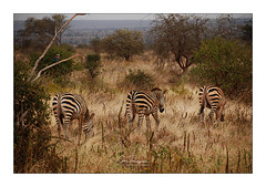 Zèbres des plaines Tsavo Ouest Kenya (Claire PARMEGGIANI Photos) Tags: zebra zebre kenya tsavo safari nature
