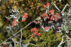 Im Loher Gehege - Blutrote Podetien der Scharlach-Becherflechte (Cladonia coccifera); Lohe-Föhrden (30) (Chironius) Tags: loheföhrden schleswigholstein deutschland germany allemagne alemania germania германия niemcy flechte lichen lichene korstmos liquen лишайники