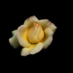 Rose (Minh-Hoàng) Tags: hoa rosen blume dark darkside sleep yellow