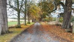 🍁Autumn Lane🍁 (kevinmcnair) Tags: autumn scotland fife trees uktrees chestnuttrees conkertree conkers lane limekilnsroad dog walkingthedog dunfermline grangeroad gateway