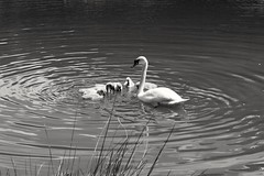 Motherly Love (kimmilouise) Tags: swan babysygnet sygnet motherhood mother feeding lake water blackandwhite riplets birds animals wildlife nature