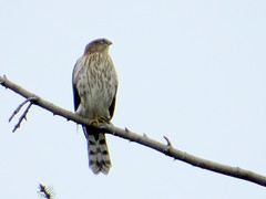 CoopersHawk (Shelley Penner) Tags: birds vancouverisland raptors hawk accipiter coopers streaky