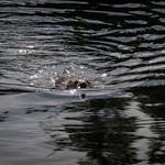 Swimming Muskrat 1 - Wyoming thumbnail