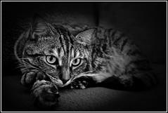 MAYA sur canapé (thierrybalint) Tags: chat animal domestique nikon nikoniste chatte femelle félin féline portrait cccg cat pet nb bw ngc