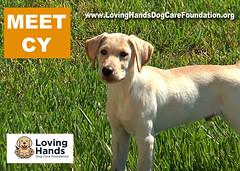 CY-Yellow Lab Service Dog in Training (videodocdigital) Tags: servicedog vetersns usveterans 22veterans 22 22vets ptsd therapy leesburg florida