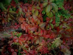 Herbst (Hannelore_B) Tags: herbst autumn blätter leafes herbstblätter autumnleafes macro natur nature