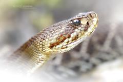 Crotalus  basiliscus (Matthieu Berroneau) Tags: trip mexique sony alpha macro nature france herpéto wildlife animal animaux ff 24x36 full frame a7ii 7ii 7mk2 sonyilce7m2 herping herpeto reptile reptilian reptilia serpent serpente snake serpentes snakes serpiente field herp venomous poisonous serpents sonya7ii sonya7mk2 sonyalpha7mark2 sonyalpha7ii 90 28 fe f28 g oss fe90f28macrogoss sonyfesonyfe2890macrogoss objectifsony90mmf28macrofe sel90m28g crotalus basiliscus crotalusbasiliscus cascabel del pacífico cascabeldelpacífico mexican west coast rattlesnake mexicanwestcoastrattlesnake green rattler mexicangreenrattler