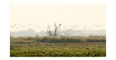 AR1804318-B (-AR-) Tags: zeearend whitetailedeagle haliaeetusalbicilla vogel bird roofvogel birdofprey arend eagle ganzen geese boom tree spuimondingwest voorneputten haringvliet natuur nature wild