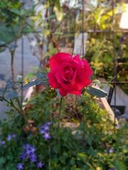 """My last rose before winter"" (toni.abruzzese) Tags: rose rosa fiore flower blume natura nature natur"