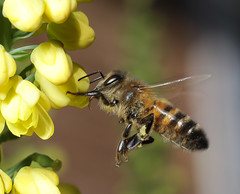 Flying honey bee on mahonia (NRE) Tags: bee insect flower garden sussex uk