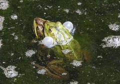 Le temps de l'amour ! The time of love! (Annelise LE BIAN) Tags: animaux grenouilles servion suisse vaud coth alittlebeauty coth5 sunshine damn