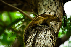 Sq (BARUN DASH) Tags: squirrel animal cute pet wild small adorable lovely beauty beautiful good cool branches search tree sciuridae brown rodent mini nikon d3400 dawn jungle chipmunk rest focus