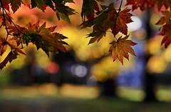 sapporo 637 (kaifudo) Tags: 北海道 札幌 北海道知事公館 紅葉 秋 sapporo hokkaido japan autumnleaves autumn nikon d5 nikkor afs 105mmf14eed 105mm natureinfocusgroup kaifudo
