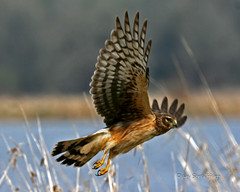 IMG_1269_edited-3.jpg (Dan Streiffert) Tags: birds northernharrier places nationalwildliferefuges kiteseaglesandhawks ridgefieldnwr