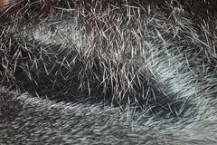 Ameisenbär - Fell (antje am kipp) Tags: fell ameisenbär wuppertal zoo