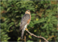 Sparrowhawk (jenny*jones) Tags: accipiternisus sparrowhawk raptor birdofprey westyorkshire gtbritain sept2018 canon7dmarkii canon100400mmii birdphotography