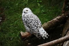 Schnee-Eule (Bubo scandiacus) (Hugo von Schreck) Tags: hugovonschreck schneeeule buboscandiacus bird vogel canoneos5dsr tamronsp150600mmf563divcusda011