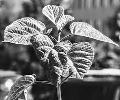 Leaves (pmorris73) Tags: arboretum pennstateuniversity statecollege pennsylvania century 2cee 3cee 4cee 5cee 6cee 7cee 8cee 9cc0219
