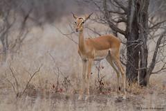 Young Impala ewe (leendert3) Tags: leonmolenaar southafrica krugernationalpark wildlife nature mammals impalaantelope ngc npc