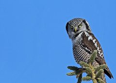 Northern Hawk Owl...#36 (Waldo close up) (Guy Lichter Photography - 4.2M views Thank you) Tags: owlnorthernhawk canon 5d3 canada manitoba winnipeg wildlife animal animals bird birds owl owls