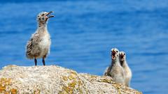 Babies Gull  -  Grisards  - Bébés Goéland (bruno.suignard) Tags: grisard babygull seagull goeland iledesein pointeduraz finistère brittany france brunosuignard bird oiseau rocher granit granite bretagne rock island islandofsein