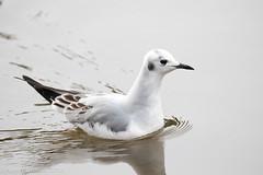 Bonaparte's Gull winter plumage (rdroniuk) Tags: birds gulls waterbirds bonapartesgull chroicocephalusphiladelphia oiseaux oiseauxdeleau mouettes mouettedebonaparte