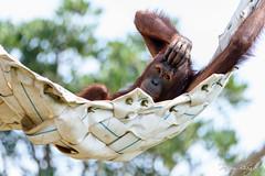 Chilled Out Orangutan (PB2_3368) (Param-Roving-Photog) Tags: bornean orangutan ape primate wildlife animal cage balizoo hummock animalportrait expression bali indonesia nature criticallyendangered conservation wildlifephotographer travelphotography wanderer rovingphotog parambhogal