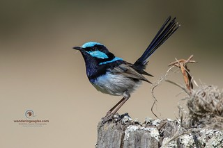 Superb Fairy Wren - Striking a pose (as always)