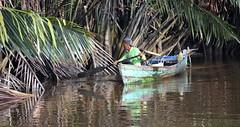 Riverside search (josepsalabarbany) Tags: borneo kalimantan indonesia jungle wildlife monkey orangutan proboscismonkey nasalislarvatus tanjungputing river riu nationalpark boat klotok barca