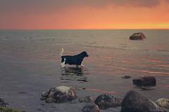 Memories: 💗 Luna 💗 The Sea and Sunset (lichtspuren (dolls, dogs and more)) Tags: luna blackandwhite dog hound münsterländerdackel sweetie memories balticsea lichtspuren littledoglaughedstories