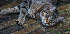 2018 - Delft - The Cat (Ted's photos - For Me & You) Tags: 2018 cropped delft nikon nikond750 nikonfx tedmcgrath tedsphotos cat paws animal streetscene street kitty ears nos whiskers fur vignetting