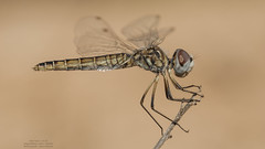 Selysiothemis nigra (Pipa Terrer) Tags: selysiothemisnigra odonata anisoptera insecta invertebrados sierraespuña libélula