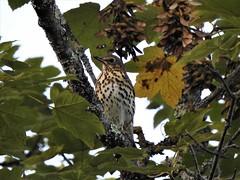 Grive draine (chriscrst photo66) Tags: nikoncoolpixp900 parc arbre grivedraine oiseau animal bird