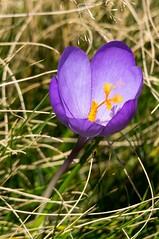 Pouech de Gérac (Ariège) (PierreG_09) Tags: ariège pyrénées pirineos couserans occitanie montagne midipyrénées ustou gérac flor flore fleur plante crocusdautomne crocusnudiflorus