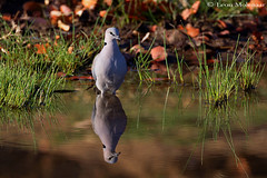 Reflections of ........ (leendert3) Tags: leonmolenaar southafrica krugernationalpark wildlife nature birds capeturtledove ngc npc naturethroughthelens