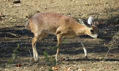 Sharpe's  Grysbok / Sharpegrysbokkie (Pixi2011) Tags: antelope wildlife krugernationalpark africa animals