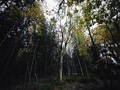 Meet me down by the old oak tree (photographybyjoss ↟↟) Tags: forest samyang14mmf28 14mm wideangle sweden swedishcountryside swedishforest autumn höst mood oaktree oak dark darkforest dusk