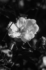 Rose (mellting) Tags: eskilstuna nikond500 platser rothfossparken bloggad flickr matsellting mellting nikkor5018 nikon sverige sweden rose rosa ros flower plant monochrome bnw blackandwhite