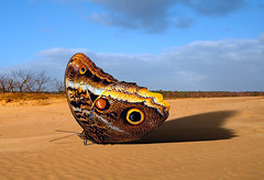 Eyes (Wim Koopman) Tags: butterfly insect desert dutch surreal horizon sand dunes trees surrealism clouds sky