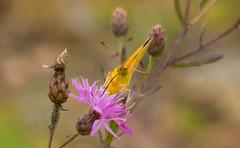 7K8A7568 (rpealit) Tags: scenery wildlife nature weldon brook management area orange sulphur butterfly