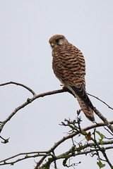 Kestrel (In this twilight...) Tags: kestrel raptor berryhillfields stokeontrent staffordshire england unitedkingdom falcotinnunculus
