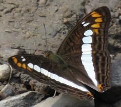 Adelpha alala (Birdernaturalist) Tags: bolivia butterfly lepidoptera limenitidinae limenitidini nymphalidae richhoyer