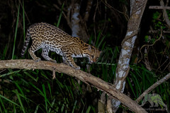 Ocelot #Explored (fascinationwildlife) Tags: animal mammal wild wildlife nature natur pantanal brazil brasilien djungle forest nocturnal night tree ocelot ozelot cat predator elusive feline south america südamerika